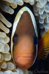 You say Tomato, I say Tomawwto: Tomato Anemone Fish Profile by Tony Cherbas 